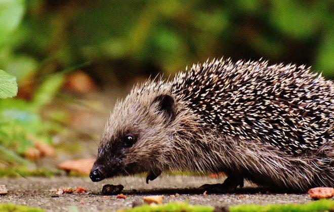 hedgehog friendly homes